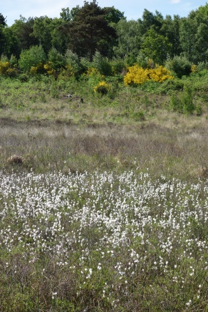 3-Common cotton-grass seed heads