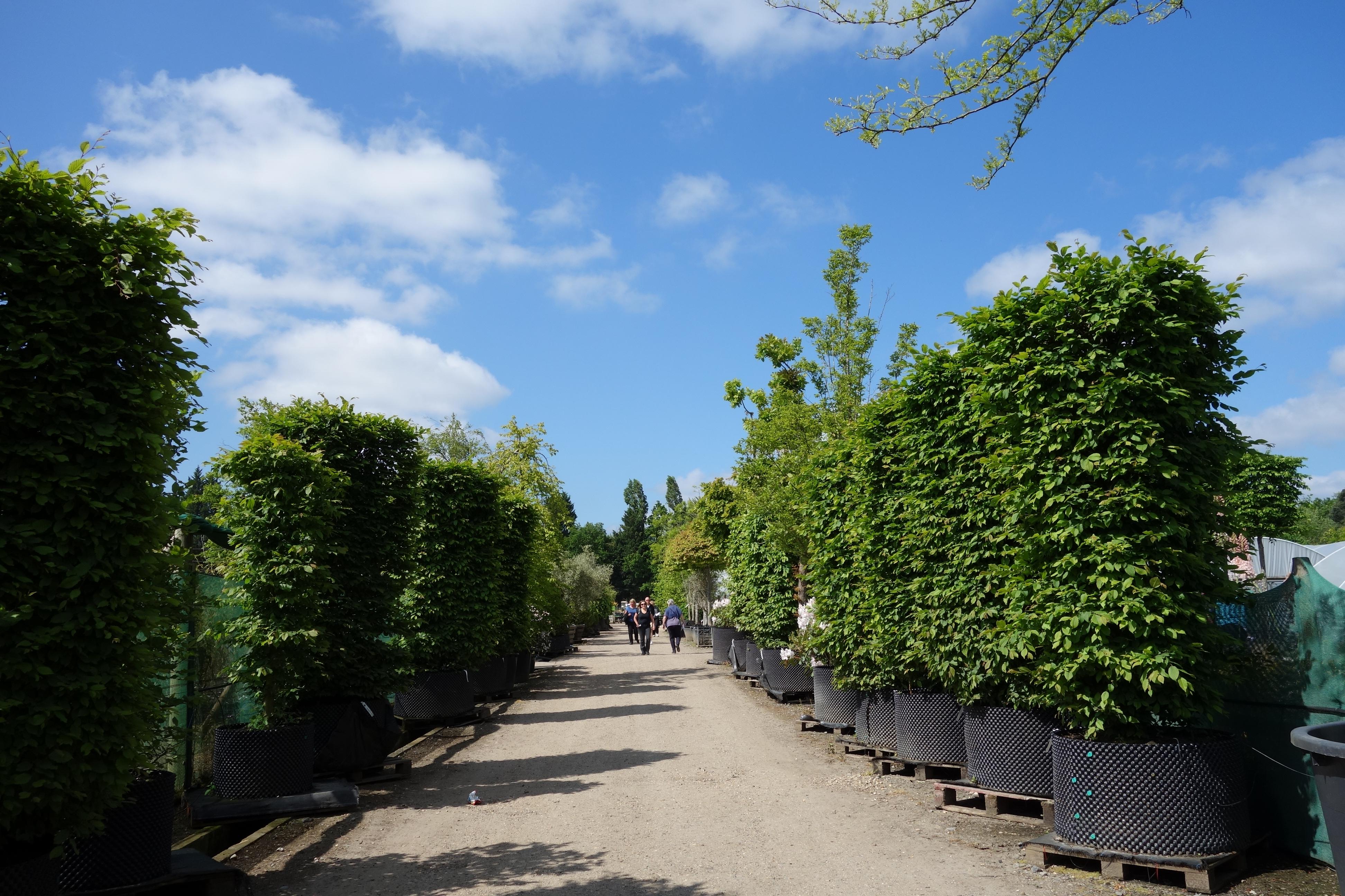The joys of surrey heath s horticultural golden mile for Specimen trees