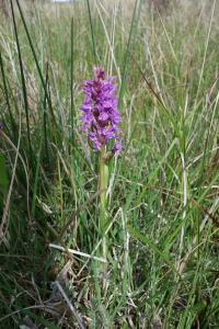Early Marsh Orchid_1