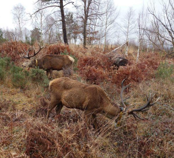 Red Deer bucks on Chobham Ridges