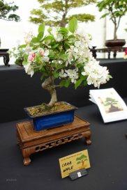 3-Bonsai Crab Apple tree
