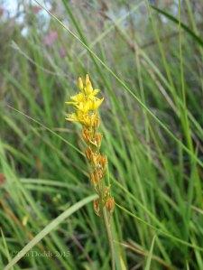 Bog Asphodel in flower