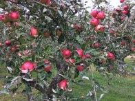7-Bowden's Seedling