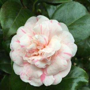 Camellia 'Italiana'