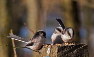 800px-Long_Tailed_tits_1_(4245393558)