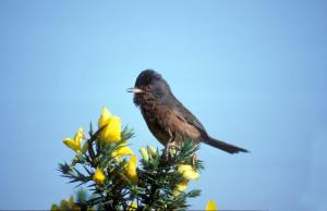 Dartford Warbler - credit Barry Hughes