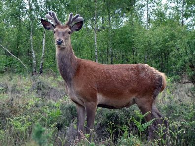 1- young Red Deer stag