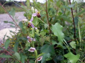 2-Bee Orchid