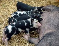 5_piglets suckling in the Livestock Marquee