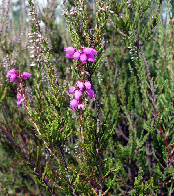 Ling surrounds Bell heather in centre