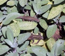 3-lizards-being-warmed-by-the-sun