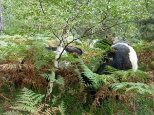 belted-galloway-cattle-munching-grass