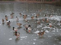 2-mallards-on-hammonds-pond-lightwater-country-park