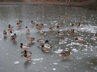 2-mallards-on-hammonds-pond-lightwater-country-park