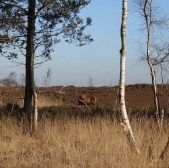 2-red-deer-on-chobham-ridges