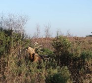 3-red-deer-munching-gorse