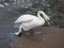 3-swan-on-hammonds-pond-lightwater-country-park