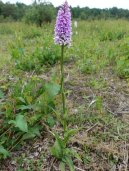 2-Heath Spotted Orchid