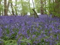 Hatchlands bluebells_3