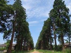 1-Giant Redwood trees