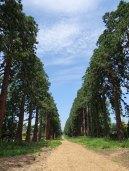 2-Giant Redwood trees