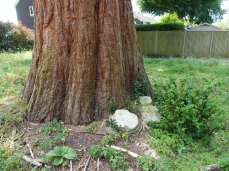 3-Scrub and other trees cleared from around Giant Redwood trees