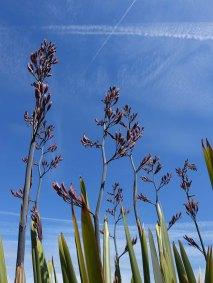 Phormium 'Maori Sunrise' flowers_1
