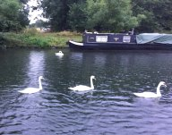 2-Lovely weather for swans