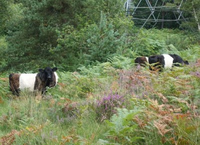 Belted Galloway cattle return