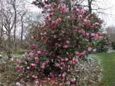 4-Camellia 'Donation'