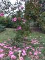 5-Camellia 'Brigadoon'