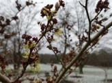 6-Witch Hazel
