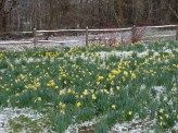 7-Daffodils