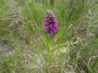 5-Early marsh orchid