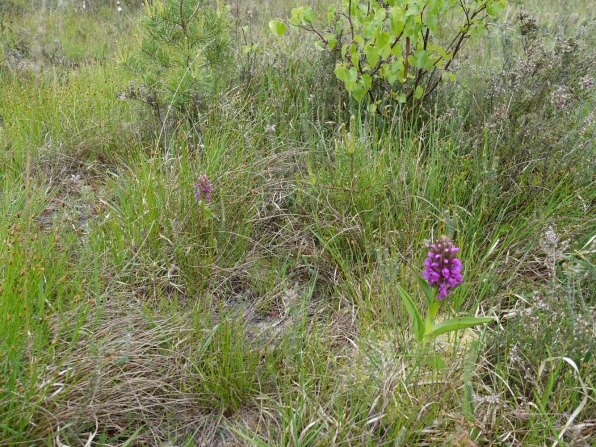6-Early marsh orchid
