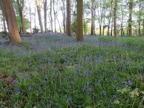 Bagshot Woods - Bluebells
