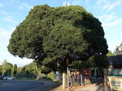 1-Phillyrea latifolia at Bagshot Station