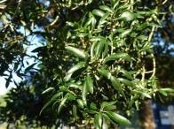 3-Leaves of Phillyrea latifolia at Bagshot Station