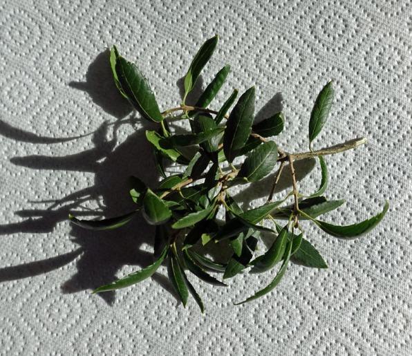 4-Leaves of Phillyrea latifolia at Bagshot Station