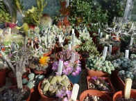 2-Mixed cacti varieties