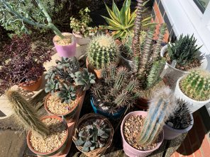 Part of cacti collection March 2020