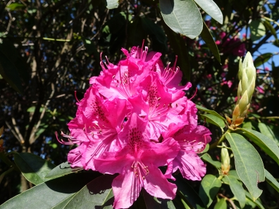5-Earlswood Park rhododendron