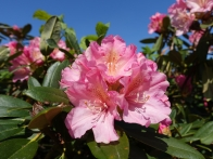 6-Earlswood Park rhododendron
