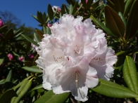 9-Earlswood Park rhododendron