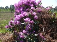 1- Invasive Rhododendron ponticum