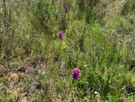 3-Early Marsh Orchids