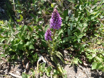 4-Heath Spotted Orchid