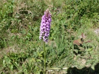 5-Heath Spotted Orchid