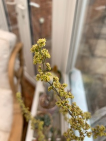 4-The winner, Crassula perforata variegata