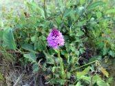 Pyramidal orchid - heathland track - June 2020